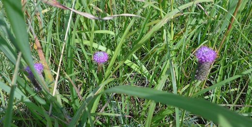 Purple prairie clover (CAH, 2014.08.21)