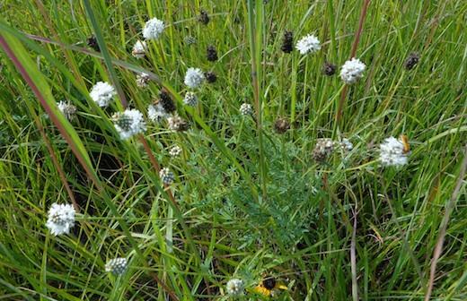 White prairie clover (CAH, 2014.08.21)