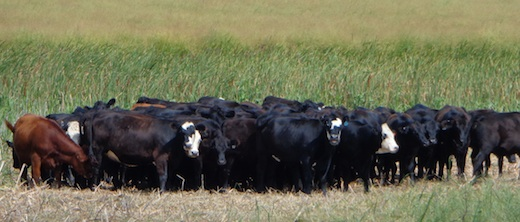 Best-tasting beef in South Dakota? These critters from the Mortensen Ranch enjoying their East River sojourn would rather you not hurry to find out. (CAH, 2014.08.21)