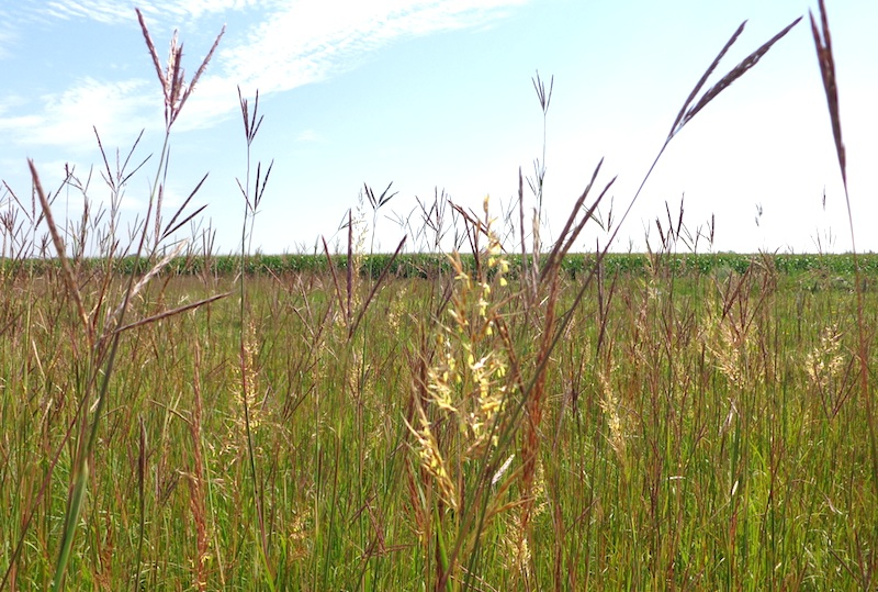Native grass stares down the monoculture (CAH, 2014.08.21)